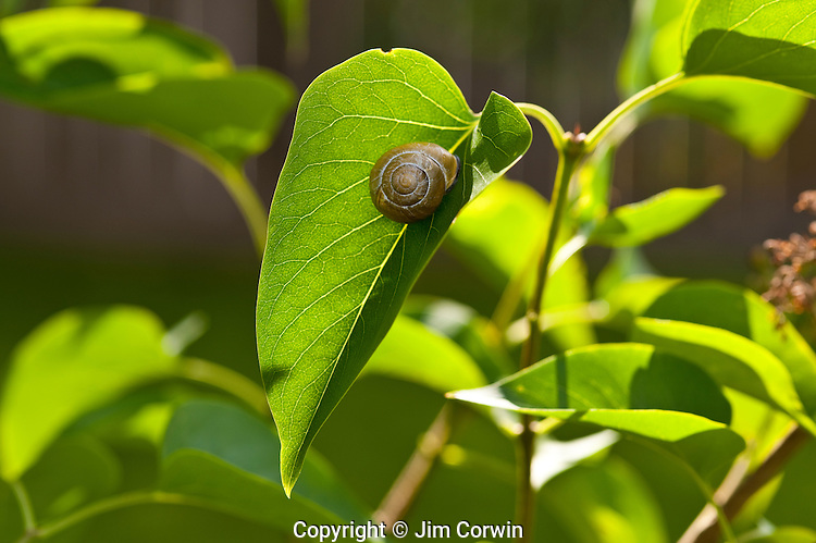 Snail in lilac bush snug in leaf