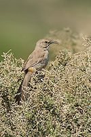 581970025 a wild lecontes thrasher toxostoma lecontei perches in a chapparal plant near maricopa in kern county california