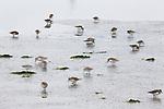 Western Sandpiper (Calidris mauri) flock foraging, Elkhorn Slough, Monterey Bay, California