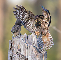 A Northern Hawk Owl delivers prey to its day old fledgling.
