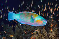 TG75244-D. Bullethead Parrotfish (Chlorurus sordidus), high variable coloration in this species which grows to 16 inches long, usually found on reefs and nearby rubble down to 100 feet deep. Scalefin Anthias (Pseudanthias squammipinnis) in the background. Egypt, Red Sea.<br /> Photo Copyright &copy; Brandon Cole. All rights reserved worldwide.  www.brandoncole.com