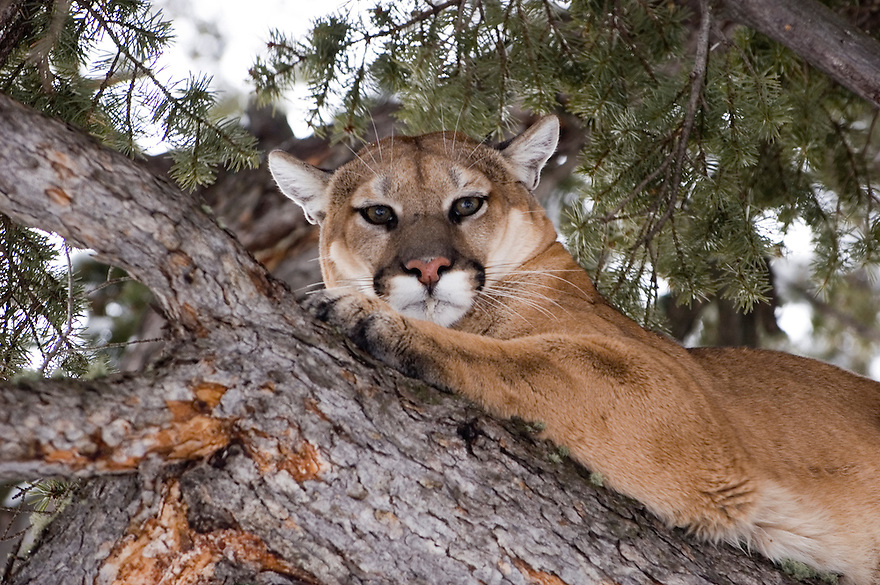 A mountain lion rests in a tree in the Gallatin Mountains near Emigrant, Montana.