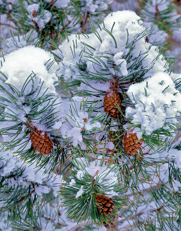 Snow covered pine tree with cones. Summer Lake Inn, Oregon