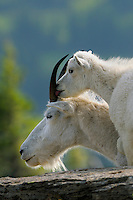 Mountain Goats--nanny with young kid (Oreamnos americanus).  Glacier National Park, Montana.  Summer.