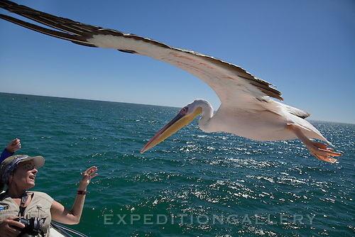 White pelicans flying by a tourboat in Walvis Bay, Namibia. [MODEL RELEASED]