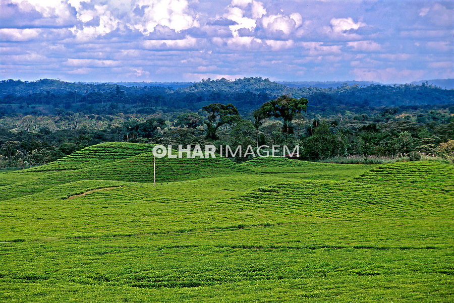 Plantações de chá na amazônia equatoriana. Equador. 1996. Foto de Juca Martins.