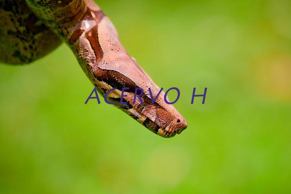 A jiboia-constritora (Boa constrictor) ou simplesmente jiboia[1] &eacute; uma serpente que pode chegar a um tamanho adulto de 2 metros (Boa constrictor amarali) a 4 metros (Boa constrictor constrictor), raramente chegando a este tamanho m&aacute;ximo. Existe no Brasil, onde &eacute; a segunda maior cobra (a maior &eacute; a sucuri) e pode ser encontrada em diversos locais, como na Mata Atl&acirc;ntica, restingas, mangues, no Cerrado, na Caatinga e na Floresta Amaz&ocirc;nica.<br /> <br /> No Brasil, existem duas subesp&eacute;cies: a Boa constrictor constrictor (Forcart, 1960) e a Boa constrictor amarali (Stull, 1932). A primeira &eacute; amarelada, de h&aacute;bitos mais pac&iacute;ficos e pr&oacute;pria da regi&atilde;o amaz&ocirc;nica e do nordeste. A segunda, jiboia-amarali, pode ser encontrada mais ao sul e sudeste do pa&iacute;s, sendo encontrada algumas vezes em regi&otilde;es mais centrais do pa&iacute;s.<br /> <br /> &Eacute; basicamente um animal com h&aacute;bitos noturnos (o que &eacute; verific&aacute;vel por possuir olhos com pupila vertical), ainda que tamb&eacute;m tenha atividade diurna.<br /> <br /> &Eacute; considerado um animal viv&iacute;paro porque, no final da gesta&ccedil;&atilde;o, o embri&atilde;o recebe os nutrientes necess&aacute;rios do sangue da m&atilde;e. Alguns bi&oacute;logos desvalorizam essa parte final da gesta&ccedil;&atilde;o e consideram-na apenas ovoviv&iacute;para porque, apesar de o embri&atilde;o se desenvolver dentro do corpo da m&atilde;e, a maior parte do tempo &eacute; dedicado &agrave; incuba&ccedil;&atilde;o num ovo separado do corpo materno. A gesta&ccedil;&atilde;o pode levar meio ano, podendo ter de 12 a 64 crias por ninhada, que nascem com cerca de 48 cent&iacute;metros de comprimento e 75 gramas de peso.