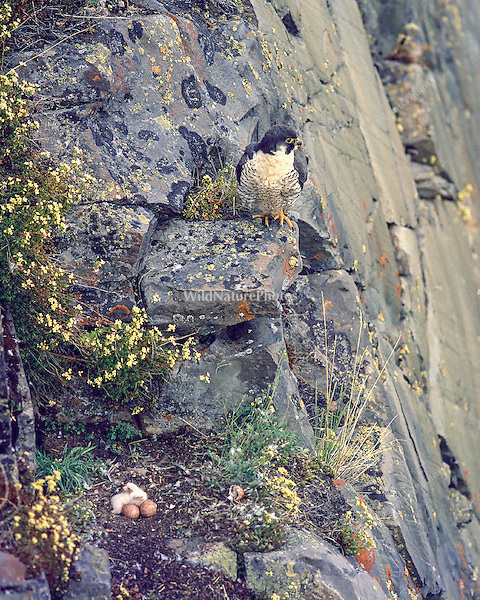 Peregrine falcon (Falco peregrinus tundrius) at her cliff nest watching her four (4) eggs hatch (Bathurst Inlet, Canada)