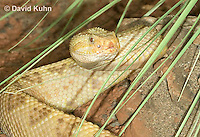0511-1104  Neotropical Rattlesnake (South American Rattlesnake), Crotalus durissimus  © David Kuhn/Dwight Kuhn Photography