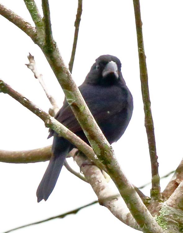 Male blue-black grosbeak