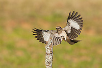 Northern Mockingbird (Mimus polyglottos) adult landing, Starr County, Rio Grande Valley, South Texas, USA