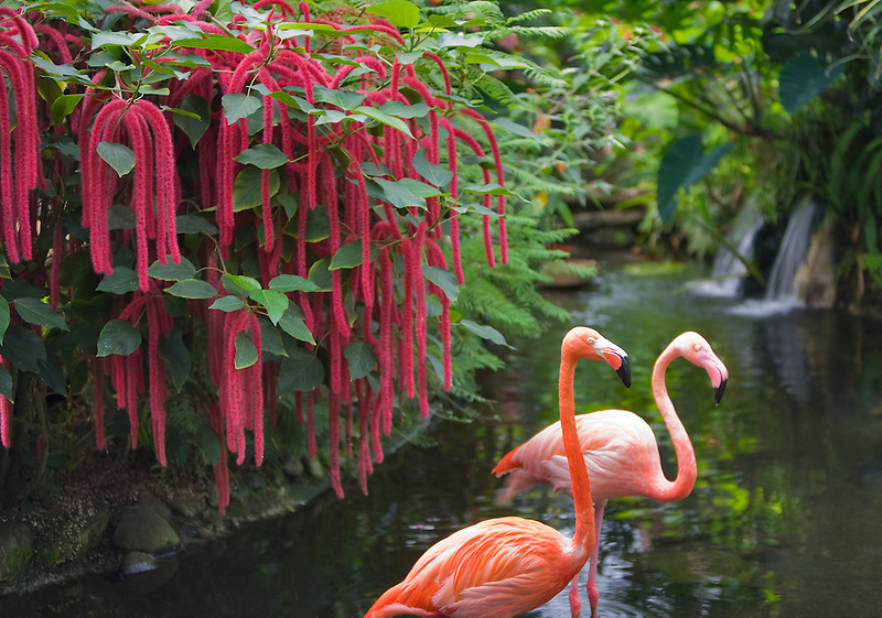 Pond with flamingos, red Chennile and waterfalls. Victoria Butterfly Gardens, Victoria, B.C.