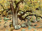 Oak tree, Yosemite National Park, California