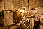 Gianaclis Caldwell doing the morning milking.