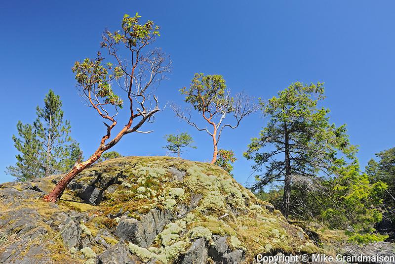 Arbutus tree near Sechelt<br /> Smuggler Cove Marine Provincial Park<br /> British Columbia<br /> Canada