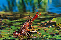 Crayfish, Crawfish (Cambaridae), adult in defensive pose, Sinton, Coastal Bend, Texas, USA, North America