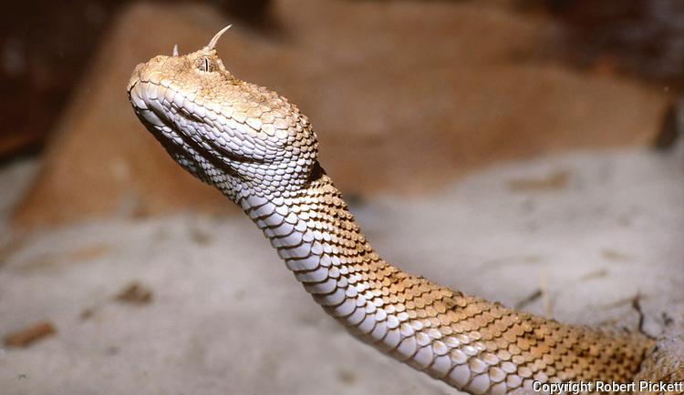 Desert Horned Viper, Cerastes cerastes, North Africa, rearing up of head, eyes, horns, scales, snake