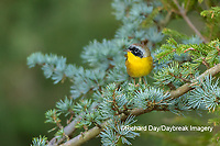 01490-00318 Common Yellowthroat (Geothlypis trichas) male in Blue Atlas Cedar Marion Co. IL