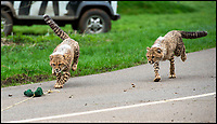 BNPS.co.uk (01202 558833)<br /> Pic: IanTurner/BNPS<br /> <br /> Having learnt from mum the cubs try to chase down the lure.<br /> <br /> Two cheeky cheetah cubs have proven they were born to run - showing off their impressive speed for the first time.<br /> <br /> The six-month-old rare twins Poppy and Winston, the first cheetahs ever to be born at Longleat Safari Park in Wiltshire, have started developing the hunting skills they would need in the wild.<br /> <br /> Keepers at the wildlife park set up a speeding lure, similar to those used at greyhound races, to put the youngsters through their paces.