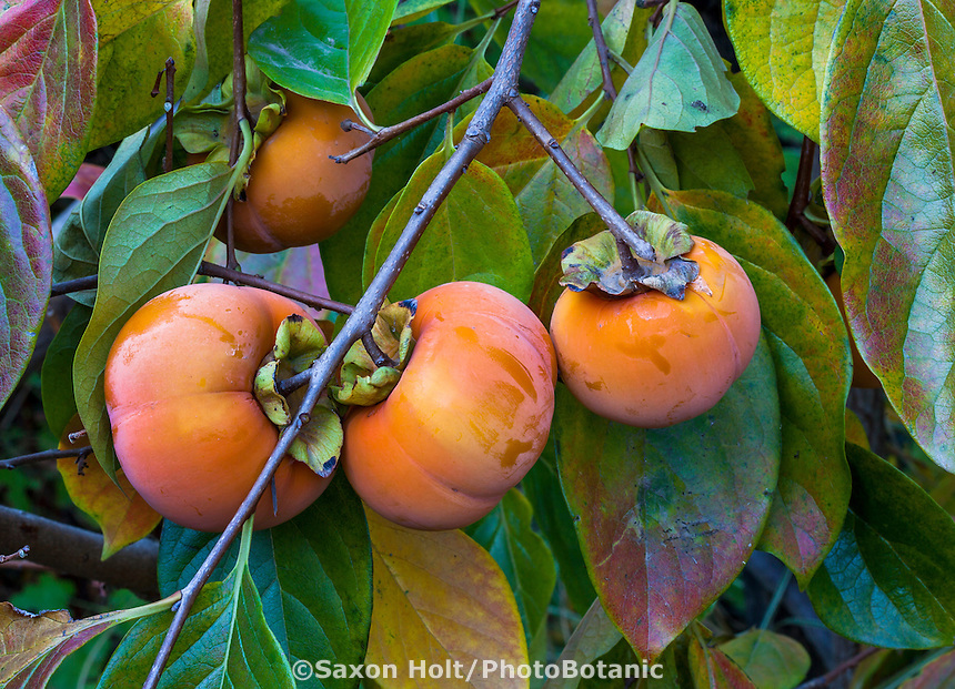 Fuyu Persimmon ripening on tree in California garden