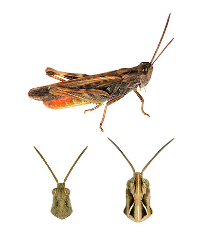 Common Field Grasshopper - Chorthippus brunneus<br /> top= male<br /> bottom left = male<br /> bottom right = female