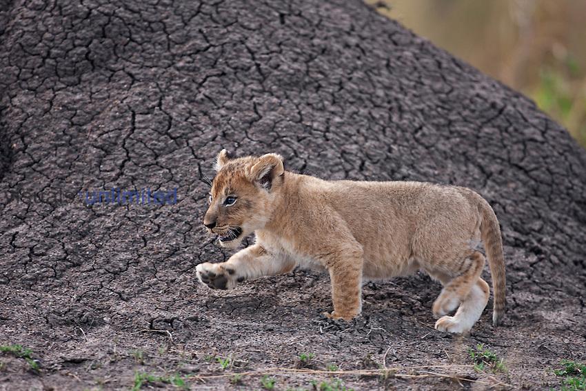 African Lion cub aged 2-3 months walking (Panthera leo), Masai Mara, Kenya.