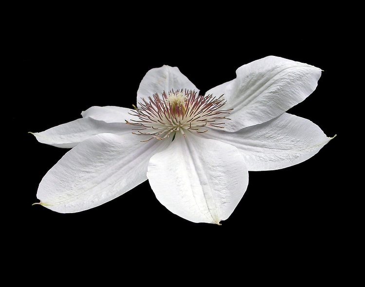 A single Hyde Hall Clematis with its stark white pettals and burgundy-tipped stamen photographed in a garden in Upper New York State stands out on a pure black background.