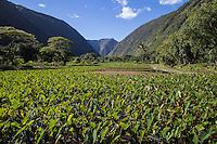 Taro Field in the Waipio Valley.  Waipio Valley was the residence of many early Hawaiian kings.  (Waipio means curved water in the Hawaiian language).  Taro is one of the staples of the native Hawaiian diet, providing starch and sustenance for many people in the Hawaiian Islands.