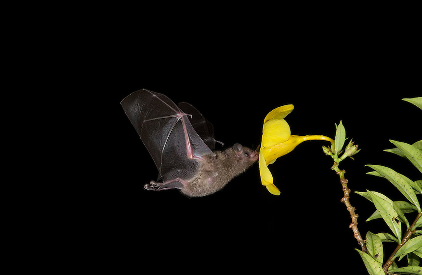 Leaf-nosed bat, nectar feeding on yellow flower Costa Rica