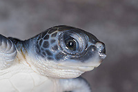 green sea turtle, Chelonia mydas, hatchling, Boca Raton, Florida, USA (c)