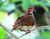 Male ruddy quail-dove