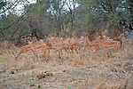 Impala Herd in Chobe National Park in Botswana, Africa