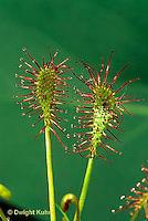 CA09-014e  Sundew - Spatula Leaf  - Drosera intermedia