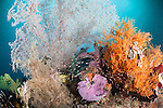 Pisang Islands, Ceram Sea, Indonesia; a small school of glassfish swimming in front of a large pink sea fan and orange soft corals