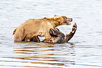 Pictured: Sequence 4 of 6:  One of the bears pushes the other over.<br /> <br /> Two young bears play-fight in a lake, wrestling and pushing one another into the water.  The two males spent over half an hour horsing around in Naknek Lake, near the base of the Alaska Peninsula.<br /> <br /> The Peninsular Grizzlies - also known as Coastal Brown Bears - are two years old, but once they are fully grown will stand around 8ft  tall.  SEE OUR COPY FOR DETAILS.<br /> <br /> Please byline: Nina Waffenschmidt/Solent News<br /> <br /> © Nina Waffenschmidt/Solent News & Photo Agency<br /> UK +44 (0) 2380 458800
