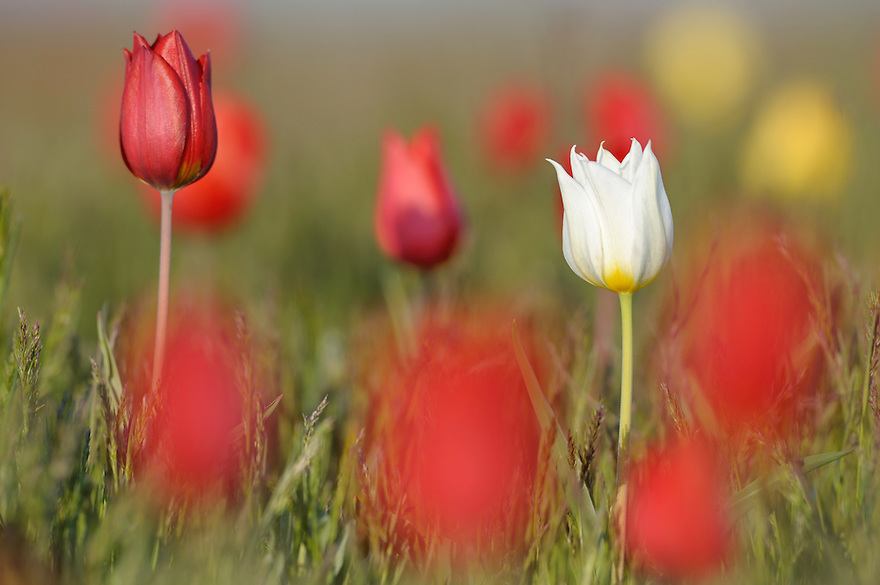 Wild tulips in the steppe bloom in April, Rostovsky Nature Reserve, Rostov Region, Russia.Tulipa schrenkii
