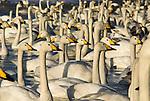 Whooper swan, Cygnus cygnus, group in water, lake Kussharo-ko, Hokkaido Island, Japan, japanese, Asian, wilderness, wild, untamed, ornithology, snow, graceful, majestic, aquatic.Japan....