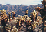 JTNP-S3,  Cholla Garden, Joshua Tree National park