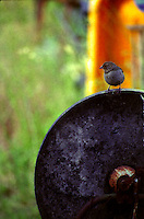 A California Towhee sits atop the wheel of an antique ax grinder outside Willits in Mendocino County in Northern California.