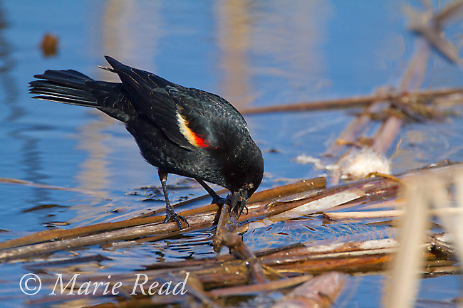 Red-winged Blackbird (Agelaius phoeniceus), male foraging among floating dead cattails in spring, Ithaca, New York, USA
