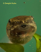 FR14-508z  Northern Leopard Frog Tadpole face, Lithobates pipiens, formerly Rana pipiens