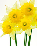 Close up of a group of yellow daffodils - against a white background