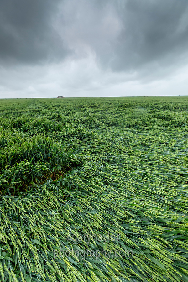 Wheat lodges folling heavy rain & wind - Lincolnshire, June