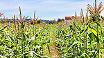 Corn Field with barns. Community Supported Agriculture Farm, 47th Avenue Farm.   Luscher Farms Park, City of Lake Oswego, Oregon, USA.
