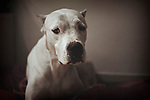 portrait of a white argentinian mastiff