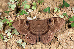 Owl Moth, Erebus Sp., Ranomafana National Park, Madagascar, brown colour and pattern, eye spots, on ground at night