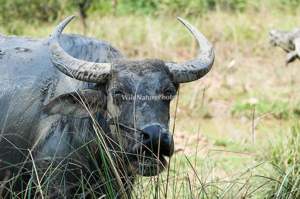 Asian Water Buffalo (Bubalus bubalis) at a favored water hole during the dry season. (Prey Veng, Cambodia)