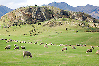 Sheep near Wanaka