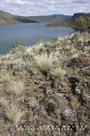 Phlox and bunchgrasses above the Prineville Reservoir, Oregon.
