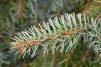 Omorika-Fichte, Serbische Fichte, Omorikafichte, Picea omorika, Serbian Spruce
